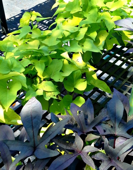 ornamental sweet potato vines a great ground cover